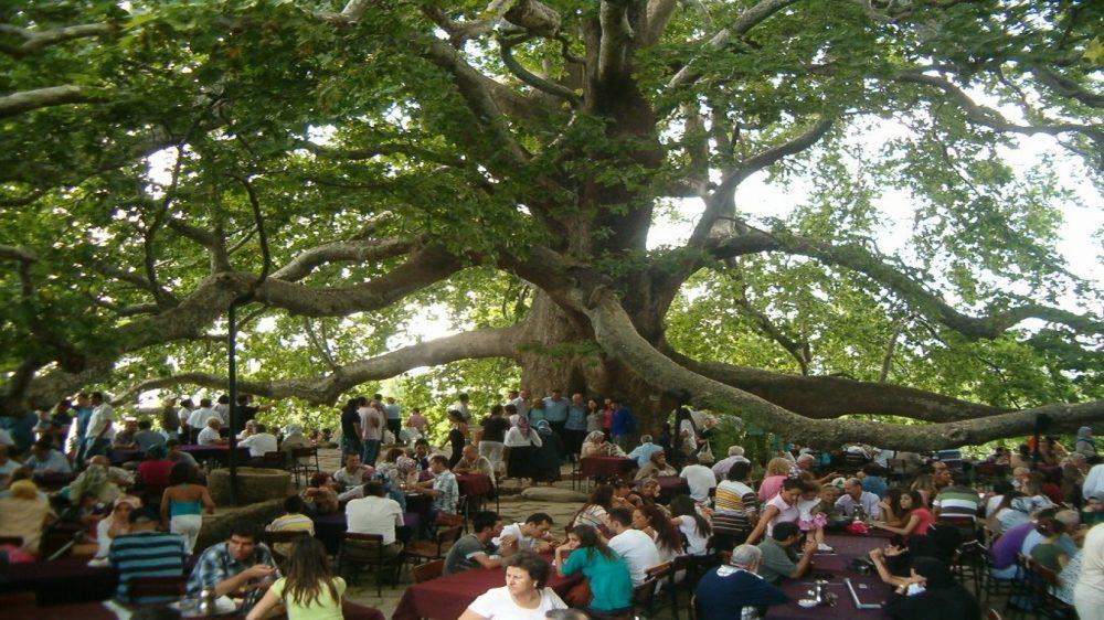 الشجرة التاريخية في مدينة بورصا